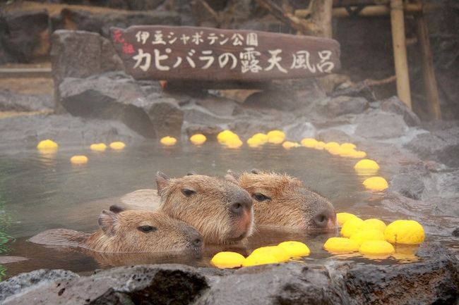 はぁ〜いい湯だな♪全国対抗、カピバラの長風呂対決がかなり癒される