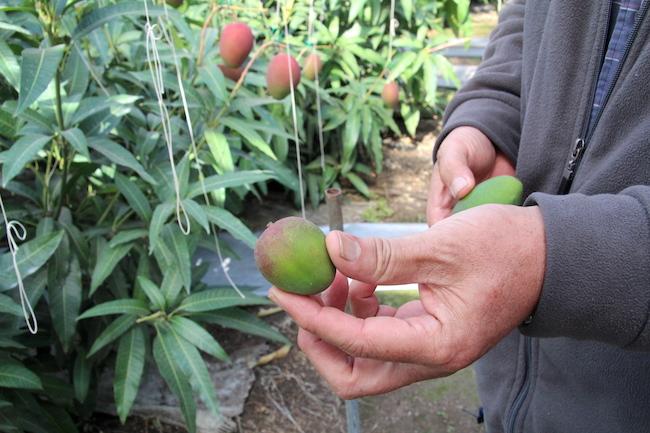 健康美肌を手に入れたい東京OLが、マンゴーの生産農家を直撃したら