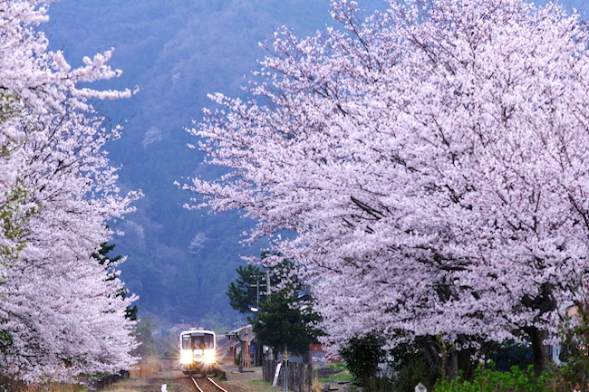 川戸駅の桜のトンネル(撮影・山岡亮治 ブログhttp://yamaokaya.exblog.jp)