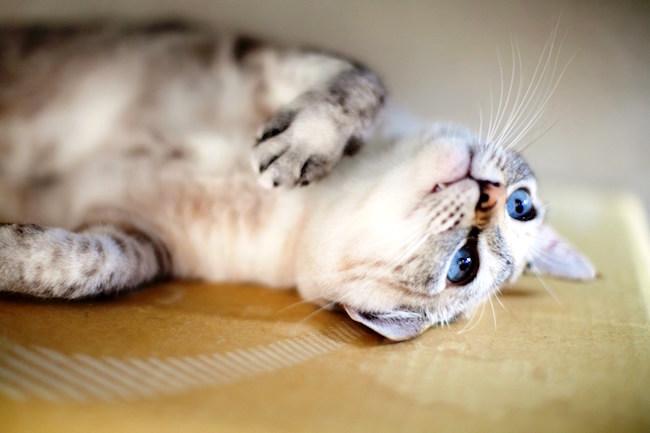 猫好きで、温泉好きの方におすすめしたいのが、看板猫のいる温泉宿です。最近は、猫がおもてなししてくれる「猫旅館」が人気です。先日、楽天トラベルが「全国の宿 自慢の看板猫ランキング」を発表。全国の可愛らしい看板猫がいる温泉宿を紹介したいと思います。
