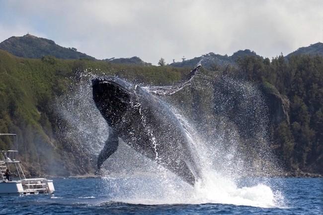 毎年12月〜4月ころ、出産と子育てのため日本沿岸の海にやって来る彼らの姿を見るホエール・ウォッチングツアーが人気を呼んでいます。ちなみに、ホエール・ウォッチングの歴史は1950年ころにさかのぼり、アメリカのサンディエゴで始まったことが記録に残っていますが、日本におけるホエール・ウォッチングは1988年に小笠原でスタート。それが沖縄などに広がり今日に至ります。なんと、日本のホエール・ウォッチングの発祥地がまさかの東京都だったとは! クジラ好きもこれには驚くのではないでしょうか。