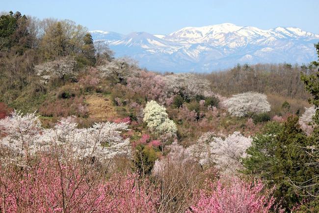 そろそろ桜の開花が待ち遠しい季節です。今年はどこでお花見しようかな・・と考え出した方々に、ある家族が無償で開放している素晴らしい花の名所を紹介しましょう。場所は福島県福島市です。