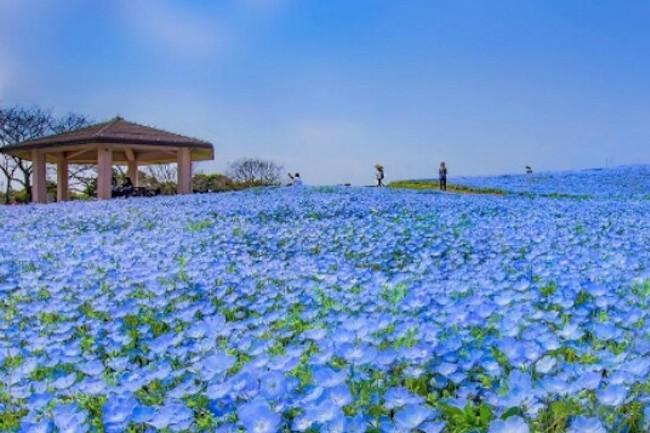 """博多湾と玄界灘に囲まれた砂州・海の中道にある国営公園海の中道海浜公園。さわやかな海風が吹く中で、あなたも思い出に残る楽しいひとときを過ごしましょう!季節の花を楽しむ 海の中道海浜公園では、""""花の丘""""と呼ばれる、15,000平方メートルの広々とした花畑があります。"""
