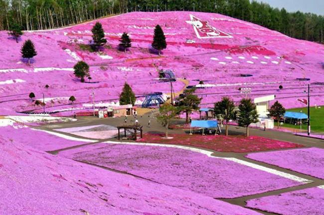 ひがしもこと芝桜公園は、北海道の大空町にあるフラワーパークです。  広い敷地内に咲き誇る芝桜はまさに「ピンクのじゅうたん」。  開花シーズンになると見渡す限り、大地がピンク色の花で覆われます。  今回はひがしもこと芝桜公園の見事な景色、そして花に秘められた感動の逸話をお届けします。