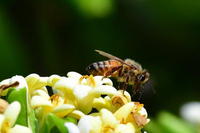 セイヨウミツバチはトベラの花で蜜を集めています。