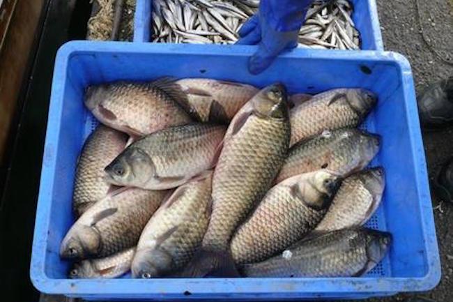 この珍魚、今すぐ食べたい。琵琶湖ではじまる極上食材ブランド化計画