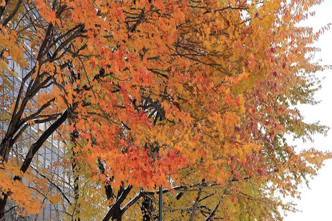 札幌大通公園で撮影された、季節外れの雪と紅葉のコラボが美しい