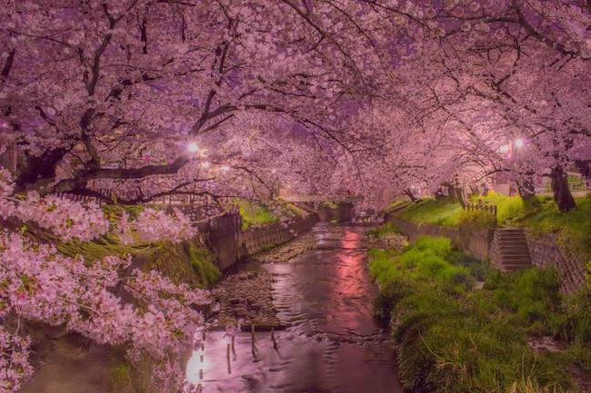 こんな美しい桜見た事ない!ピンクに彩られる五条川の桜