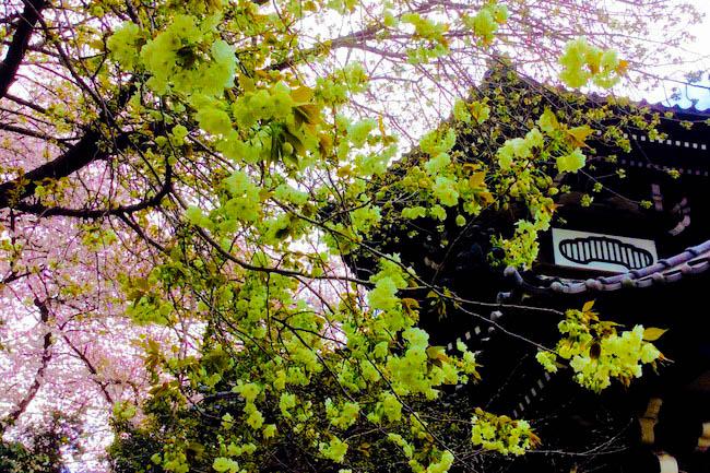 黄色い桜を拝むと金運アップ? 世田谷の小さなお寺に咲く鬱金桜