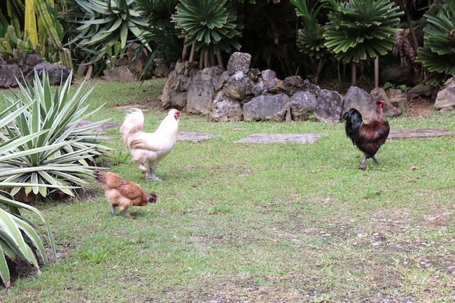 庭でうろうろする烏骨鶏たち